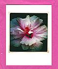 Hibiscus PF_003